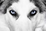 close-up shot of husky dog - 48325149
