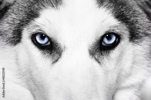 close-up shot of husky dog
