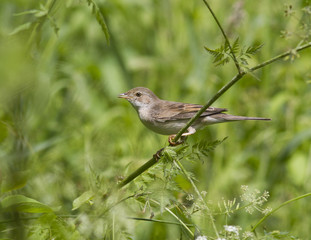 Female gray warbler sitting on a branch.