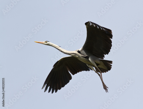 Grey Heron (Ardea cinerea) in flight.