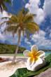 Frangipanier, fond plage et palmier