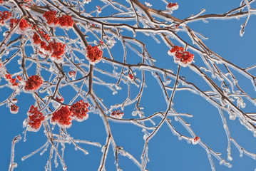 Bunches of rowan berries in the ice