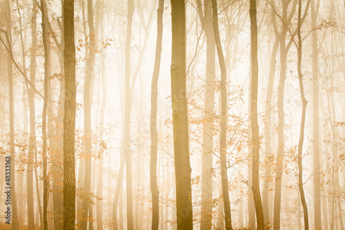 Fog with yellow sunlight covers trees in forest