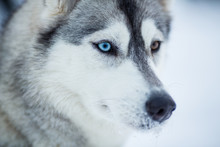 Siberian husky pies Portret z bliska