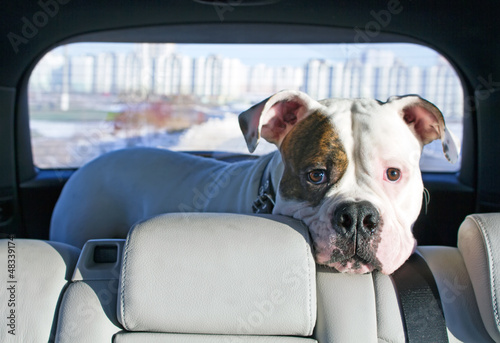American bulldog travelling by car