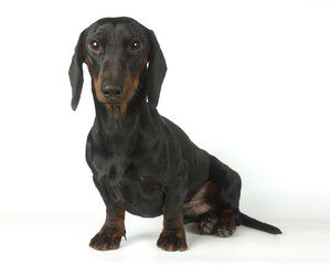 Young black and tan dachshund, 1 year old
