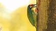 Copper Barbet