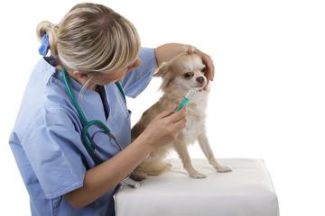 Weiblicher Tierarzt gibt einem Hund Medizin ins Maul