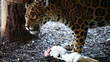 Jaguar eating a (the) white rabbit