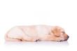 side view of a sleeping labrador retriever puppy dog