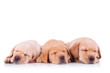 three labrador retriever puppy dogs sleeping