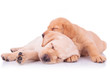 two adorable labrador retriever puppy dogs sleeping