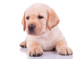 white labrador retriever puppy dog