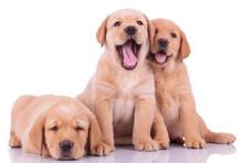 Trzy psy labrador retriever