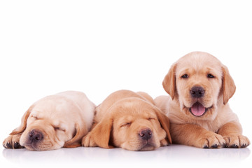 three adorable labrador retriever puppy dogs