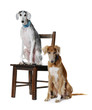 Two Saluki dog on a white background