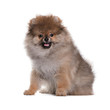 Happy Pomeranian puppy sitting on a white background