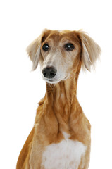 Saluki dog sitting on a white background