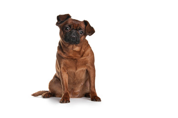 Brabant surprised dog sitting on a white background