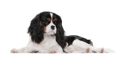 Young dog spaniel, one year, is on a white background