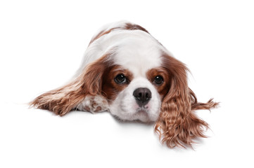 Sad spaniel dog, 3 years old, lying on a white background