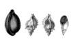 Prehistory : Shells (Eocene)