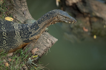 big monitor lizard