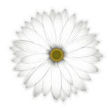 White daisy flower on white.