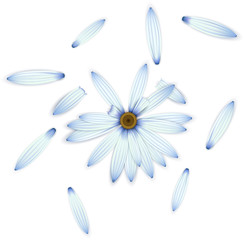 Blue daisy flower on white. Guessing concept.