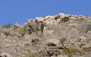 Hunting cheetah (Acionyx jubatus),  Kgalagadi  Park,