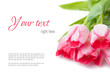 pink tulips on a white background, ready template
