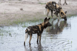 African Wild Dog in the water