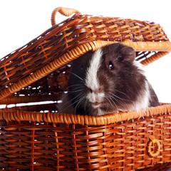 Guinea pig in a wattled basket