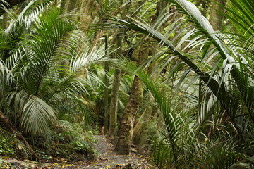 palm trees in rain forest in New Zealand