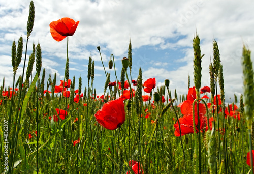 Poppies on the field.