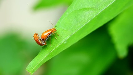 Cucurbit Leaf Beetle in love,thailand