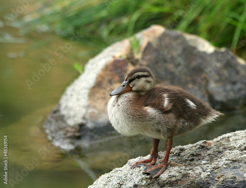 Mallard Duckling Getting Dry
