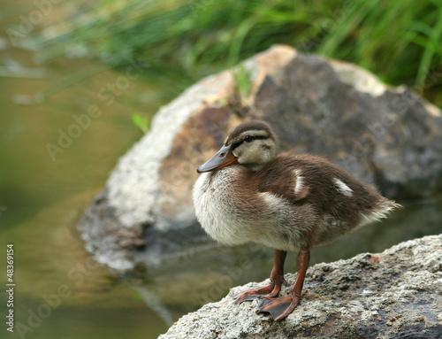 Mallard Duckling Getting Dry