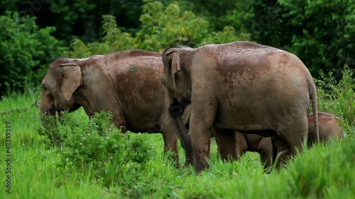 wild elephant from thailand