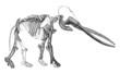 Prehistory - Skeleton : Mastodont - Pliocene Period
