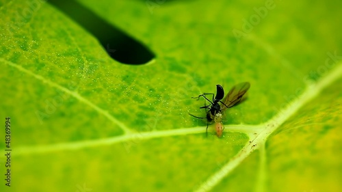 Jumping eating ant on a green leaf,thailand