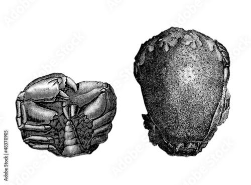 Prehistory : Crustace (Miocene)