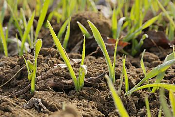 Germogli di grano in inverno