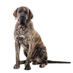 Big dog sitting isolated on white background. Brazilian fila.