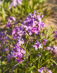 Matthiola bolleana, canarian wallflower