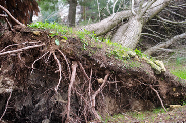 Roots of a fallen tree after a storm
