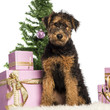 Airdale Terrier puppy sitting in front of Christmas decorations