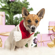 Jack Russell Terrier sitting and wearing a Christmas scarf