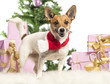 Jack Russell Terrier standing and wearing a Christmas scarf