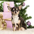 Chihuahua sitting in front of Christmas decorations